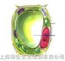 NCI-H446[H446](小细胞肺癌细胞)